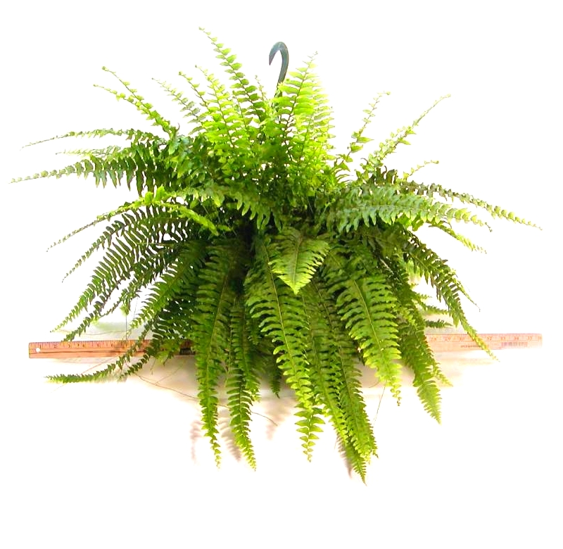 10 In Hanging Basket Fern