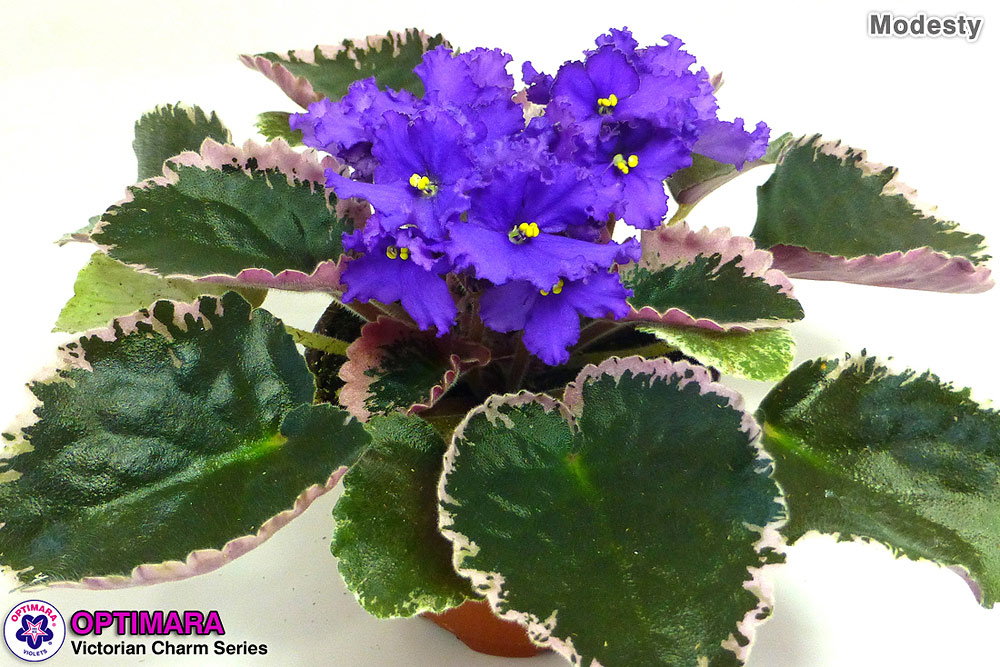 4in Variegated African Violet Modesty