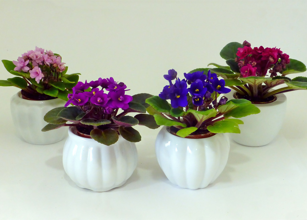 2969.jpg & 2 IN Miniature Violets in White Vases - Set of 4